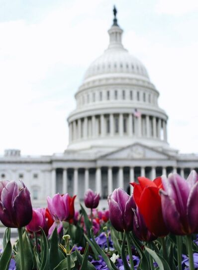 A picture of the Capital building with flowers in the foreground